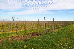 Vineyards in spring with cloudy sky. Vineyards in spring in Germany Stock Photography