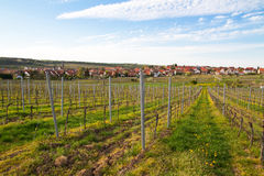 Vineyards in spring with a German village in the b. Vineyards in spring with blooming dandelion Royalty Free Stock Images