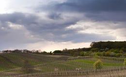Vineyards in spring Royalty Free Stock Photos
