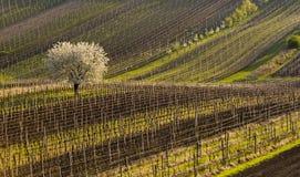 Vineyards in spring Royalty Free Stock Image
