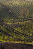 Vineyards in spring Royalty Free Stock Photo