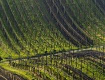 Vineyards in spring Stock Photos