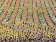 Vineyards at spring in Languedoc stock photo