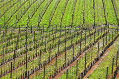 Vineyards at spring. Piedmont, Italy. Stock Photos