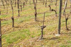 Vineyards in the spring. Preparing for the growth of grapes. Work on the vineyard. Royalty Free Stock Photography