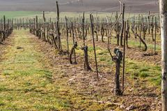 Vineyards in the spring. Preparing for the growth of grapes. Work on the vineyard. Royalty Free Stock Image