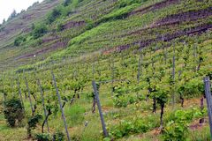 Vineyards on spring. In Moselle valley stock images
