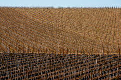 Vineyards in spring Stock Image