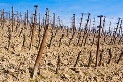 Vineyards during springtime Stock Images