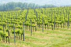 Vineyards in springtime at Lake Balaton stock photography