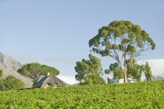 Vineyards of Stellenbosch wine region, outside of  Cape Town, South Africa Stock Photography
