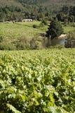 Vineyards in summer stock photos