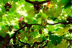 Vineyards. In the summer royalty free stock photography