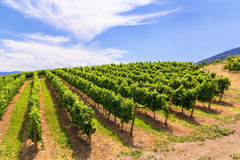 Vineyards in summer colors Stock Photo