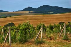 Vineyards in summer near castle Buchlov in Czech Republic,Moravia Royalty Free Stock Photography