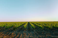 Vineyards in the summer wine industry concept stock images