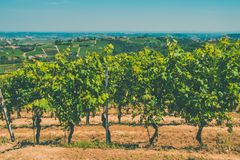 Vineyards in the sun and sky. Vineyards under the sun and sky Stock Photography