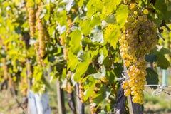 Vineyards in sunny autumn harvest Stock Photo