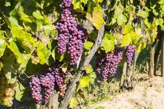 Vineyards in sunny autumn harvest Royalty Free Stock Photography