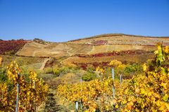 Vineyards in sunny autumn harvest royalty free stock image