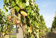 Vineyards in sunny autumn harvest Royalty Free Stock Images