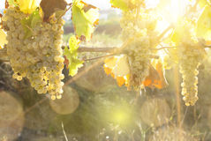 Vineyards in sunny autumn harvest Royalty Free Stock Photo