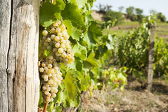Vineyards in sunny autumn harvest Stock Image