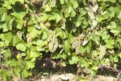 Vineyards in sunny autumn harvest Stock Photos