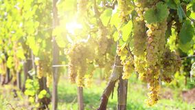 Vineyards in sunny autumn harvest. Full Hd, native hd video stock footage