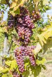 Vineyards in sunny autumn harvest Stock Images