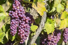 Vineyards in sunny autumn harvest Royalty Free Stock Photo