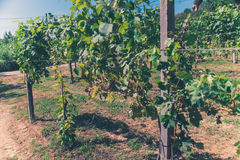 Vineyards in a sunny day. Vineyards on a sunny day Stock Images