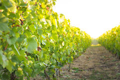 Vineyards and sunny day, France Stock Image