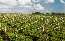 Vineyards sunny day with white ripe clusters of grapes. Italy Lake Garda. Stock Photo