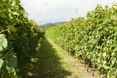 Vineyards sunny day with white ripe clusters of grapes. Italy Lake Garda. Stock Photography