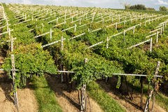 Vineyards sunny day with white ripe clusters of grapes. Italy Lake Garda. Stock Photos