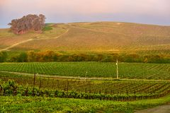 Vineyards at sunrise in California, USA royalty free stock photo