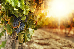 Vineyards at sunset. In autumn harvest. Ripe grapes in fall.Cluster grapes on left