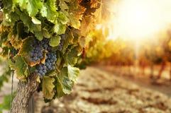 Vineyards at sunset stock photo