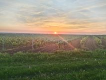 Vineyards and Sunset royalty free stock photo