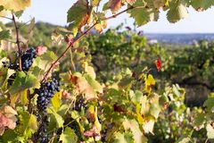 Vineyards at sunset in autumn harvest. Stock Photo