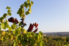 Vineyards at sunset in autumn harvest. Royalty Free Stock Image