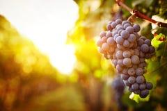 Autumn colorful vineyards at sunset royalty free stock photos
