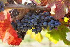 Ripe Grapes in Vineyard Royalty Free Stock Photo