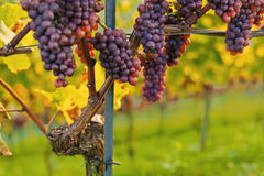 Vineyards at sunset. In autumn harvest. Ripe grapes in fall stock photos