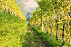 Vineyards at sunset Royalty Free Stock Photo