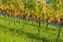 Vineyards at sunset. In autumn harvest. Ripe grapes in fall royalty free stock images