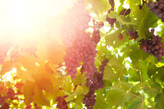 Vineyards at sunset in autumn harvest. Ripe grapes in fall Royalty Free Stock Photo