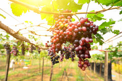 Vineyards at sunset in autumn harvest. Ripe grapes in fall. Stock Images