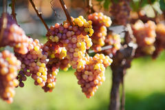 Vineyards at sunset in autumn harvest. Ripe grapes in fall. Royalty Free Stock Photography